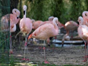 Flamingos no Artis