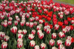 tulipas vermelhas no Keukenhof