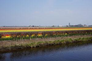 Campos de flores na Holanda