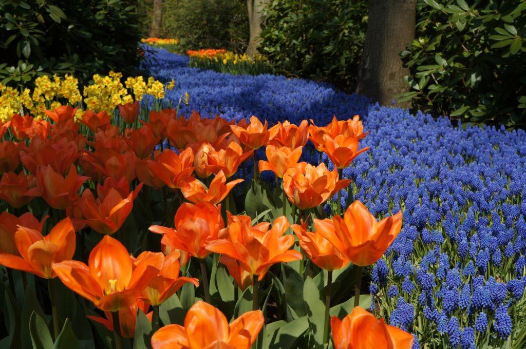 campo de flores no Keukenhof