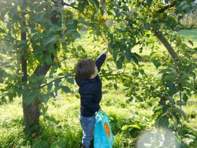 Colhendo maçãs #2