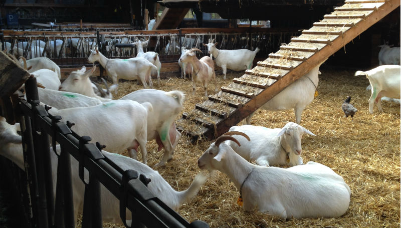 cabras geitenboerderij amsterdam