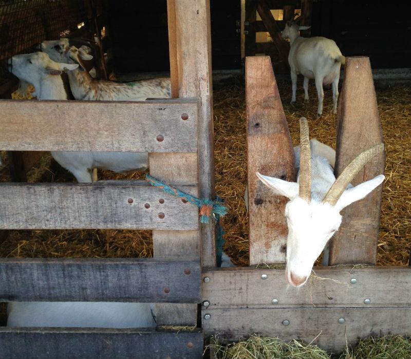 cabras geitenboerderij